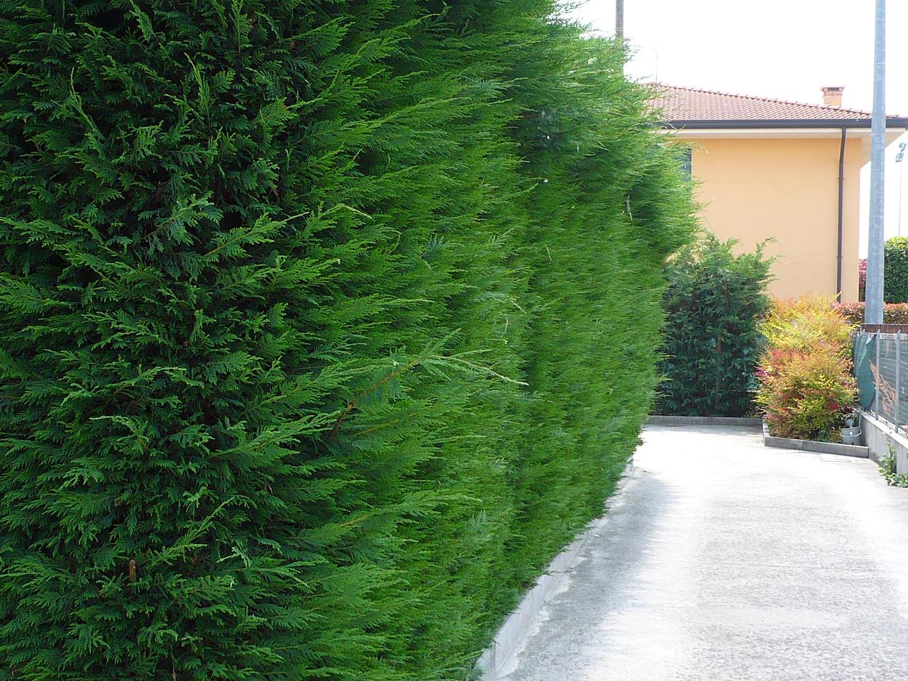 Siepi Da Giardino Prezzi : Siepi da giardino sempreverdi top verdelook siepe artificiale